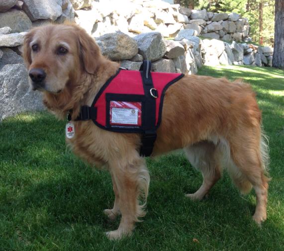 guide dog in training vest