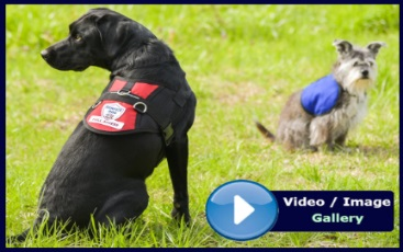 Working Service Dog Videos and Image Gallery